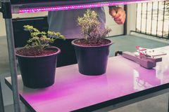 Plant growing in smart indoor farm with artificial led light. ph. Plant growing in smart indoor farm with artificial led light. spectrum phyto lamp for seedling stock photography