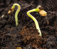 Plant growing in soil Royalty Free Stock Image