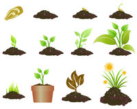 Plant growing. Stages of a growing plant illustration Stock Photos