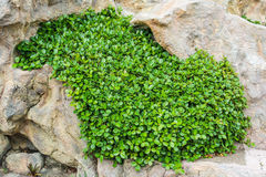 Plant growing in stone Stock Images