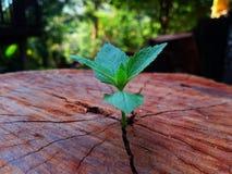 Plant growing through of trunk of tree stump stock photos