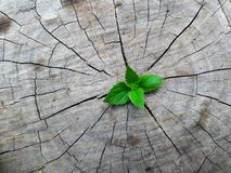 Plant growing through of trunk of tree stump royalty free stock photography