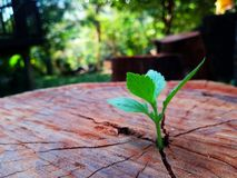 Plant growing through of trunk of tree stump royalty free stock images
