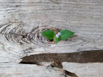 Plant growing through of trunk of tree stump royalty free stock image