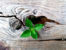 Plant growing through of trunk of tree stump stock photography