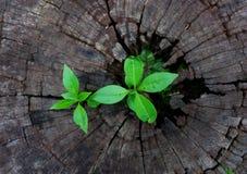 Plant growing through of trunk of tree stump. Tree trunk with a trefoil plant growing on it. Plant growing through of trunk of tree stump Royalty Free Stock Photo