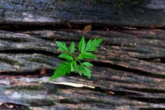 Plant growing through of trunk of tree stump. Tree trunk with a trefoil plant growing on it. Plant growing through of trunk of tree stump Stock Images