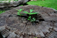 Plant growing through of trunk of tree stump. Tree trunk with a trefoil plant growing on it. Plant growing through of trunk of tree stump Stock Photo