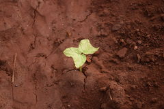 Plant growing up from the fertile soil. Small peanut plant started growing up from the fertile soil royalty free stock photos
