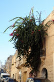 A plant growing on the wall of a house in the backstreet in Meleiha, Malta. A backstreet in Malta with a plant growing on the side of a house Stock Photography