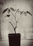 A plant growing on the windowsill Royalty Free Stock Photo