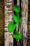 Plant growing through the wood, hope concept Royalty Free Stock Photography
