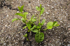 Plant grown from the asphalt road. A plant grown from under the asphalt road stock photo