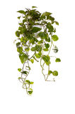 Plant grown in hanging pot Royalty Free Stock Photo