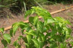 Plant grown at vegetable garden. Stock Photos