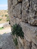 The plant grows on the ancient wall of the fortress royalty free stock image