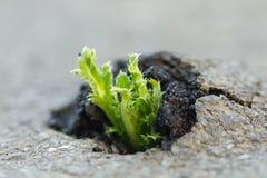 Plant grows on an asphalt. Green plant growing trough cracked asphalt Royalty Free Stock Photo