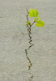 Plant grows from a crack in the asphalt. The plant grows from a crack in the asphalt stock image