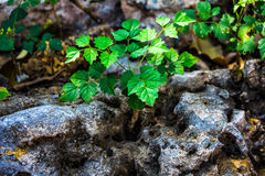 The plant grows on dry stone. The plant grows on dry stone for survival Stock Images