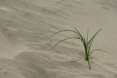 The plant grows in dune. Unknown plant growing in the sand dune and more salt Stock Photography