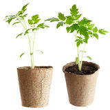 The  plant grows from a fertile soil is isolated on a white Stock Photo