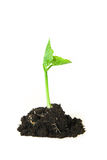 The plant grows from the ground on a white background Stock Images
