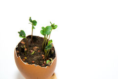 The plant grows from the ground on a white background Royalty Free Stock Image