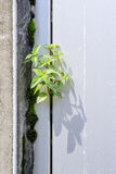 Plant grows in old wall Stock Photography