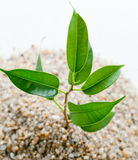 Plant grows from sand Royalty Free Stock Photography