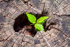 Plant grows in a stump Stock Photography