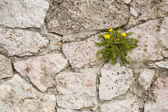 The plant grows up in the rock wall. Stock Images