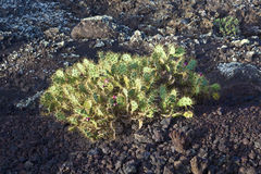 Plant grows on volcanic soil in Lanzarote Stock Photo