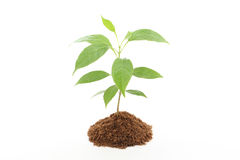 Plant growth-Baby plant Royalty Free Stock Photography