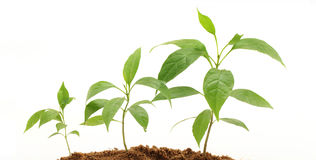 Plant growth - Baby plant Royalty Free Stock Image