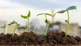 Plant growth-Baby plants Royalty Free Stock Images