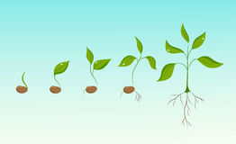 Plant growth evolution from bean seed to sapling Royalty Free Stock Image