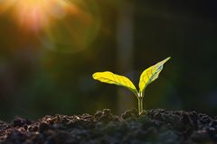 Free Plant Growth In Farm With Sunlight Background. Agriculture Seeding Growing Step Concept Royalty Free Stock Photography - 162639597