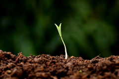 Plant growth-New beginnings. Plant growing from soil-New beginnings Stock Images