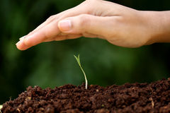 Plant growth-New beginnings. Hand protecting young plant-New beginnings Royalty Free Stock Images