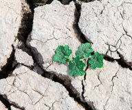 Plant growth through out dried cracked mud. Green plant growth through out dried cracked mud Royalty Free Stock Photo