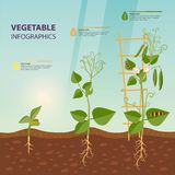 Infographic of plant growth stages. Botany Stock Photography