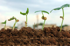 Plant growth-Stages of the plant development Royalty Free Stock Image