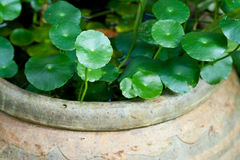 Plant. Growth in the water jar, soft focus Stock Images