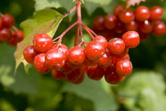 Plant. A guelder-rose bush. Details of berries of Stock Photo