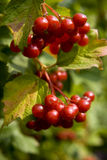 Plant. A guelder-rose bush. Details of berries of Stock Image