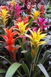 Plant Guzmania lingulata Royalty Free Stock Photography