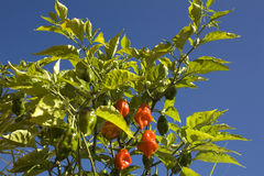 Plant of Habanero peppers. The habanero chili (Capsicum chinense) is one of the most intensely spicy species of chili peppers of the Capsicum genus Royalty Free Stock Photos