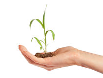 Plant in hand. Hand is holding a young plant stock photography