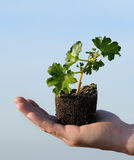 Plant and hand Royalty Free Stock Photo