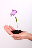 Plant in hand Royalty Free Stock Photography